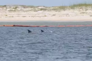 Dolphins near oil booms at Gulf oil spill