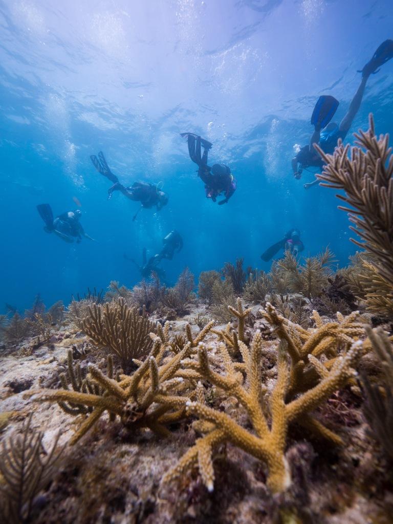 Mote Marine Lab scientists and volunteers restore staghorn corals.